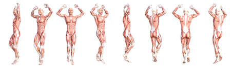 Conceptual anatomy healthy skinless human body muscle system set. Athletic young adult man posing for education, fitness sport, medicine isolated on white background. Biology science 3D illustration Banco de Imagens - 156341795