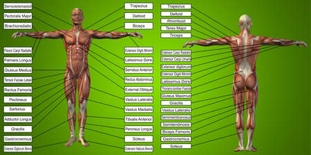 3D illustration of a conceptual human man anatomy and muscle for sport and textbox on green background to body, tendon, spine, fit, builder, strong, biological, skinless, shape, posture health medical