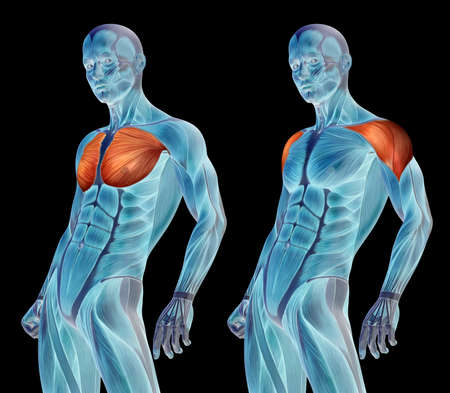 Concept 3D chest human anatomy anatomical and muscle set or collection isolated on black background metaphor to body, tendon, spine, fit, abs, strong, biological, gym, fitness, skinless health medical 免版税图像