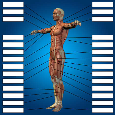 3D illustration of a concept male or human anatomy, a man with muscles and textbox on blue gradient for body, tendon, spine, fit, builder, strong, biological, skinless, shape, posture, health medical 免版税图像