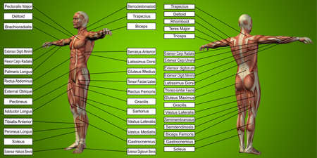 3D illustration of a concept human man anatomy and muscle for sport and text on red background for body, tendon, fit, builder, strong, biological, skinless, shape, muscular, posture, health medical