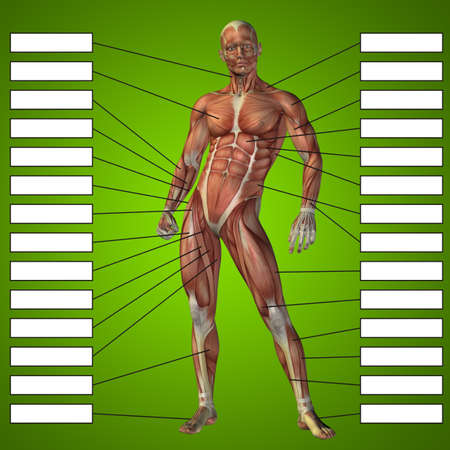 3D illustration of a concept human man anatomy and muscle for sport and textbox on green background for body, tendon, spine, fit, builder, strong, biological, skinless, shape, posture, health medical