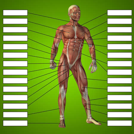 3D illustration of a concept male human anatomy, a man with muscles and textbox on green gradient for body, tendon, fit, builder, strong, biological, skinless, shape, muscular, posture, health medical