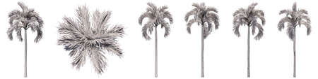 Set or collection of drawings of Palm trees isolated on white background . Concept or conceptual 3d illustration for nature, ecology and conservation, strength and endurance, force and life