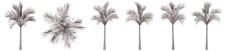 Set or collection of drawings of Palm trees isolated on white background.