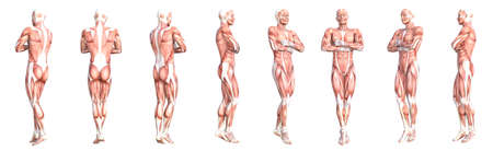 Conceptual anatomy healthy skinless human body muscle system set. Athletic young adult man posing for education, fitness sport, medicine isolated on white background. Biology science 3D illustration Banco de Imagens - 159523487