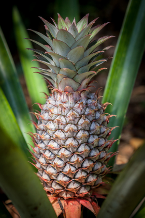 cultivating: Pineapple tropical fruit growing in a nature. Pineapples plantation and farm.