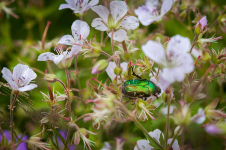 Cetonia aurata or Green Chafer beetle on a flowers flower field Stock Photo