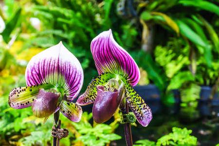 paphiopedilum: Paphiopedilum maudiae hybrid orchid