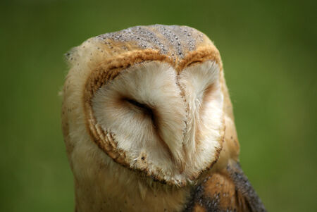 eyes cave: barn owl close up