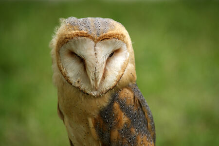 eyes cave: barn owl close up
