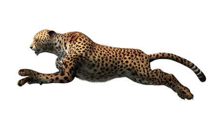 guepardo: guepardo aislado en fondo blanco