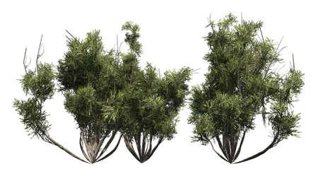 shrub: african olive shrub isolated on white background