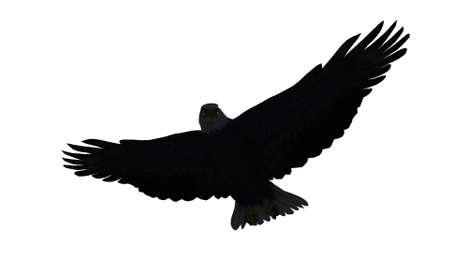talons: eagle isolated on white background