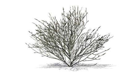 azalea: azalea winter isolated on white background