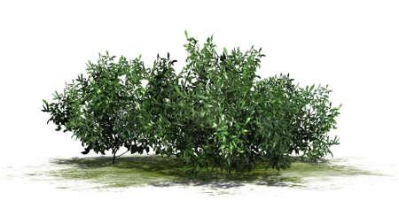 azalea: azalea green cluster isolated on white background