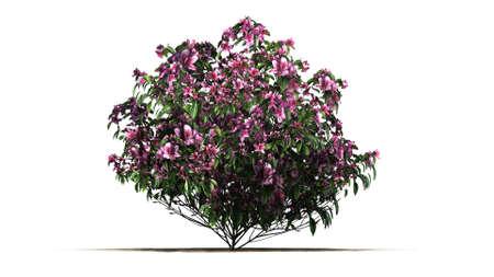 azalea: azalea flowers isolated on white background Stock Photo