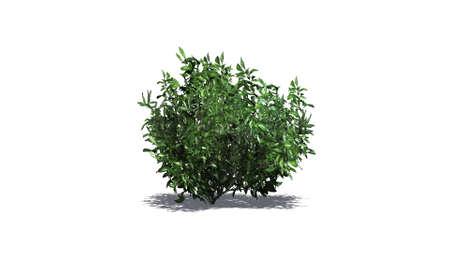 azalea: azalea green isolated on white background Stock Photo