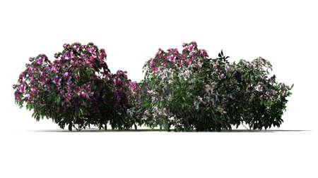 azalea: azalea flowers cluster isolated on white background Stock Photo