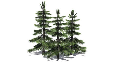 Alaska Cedar tree cluster isolated on white background