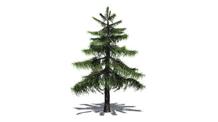 Alaska Cedar tree isolated on white background