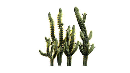 Saguaro cactus isolated on white background