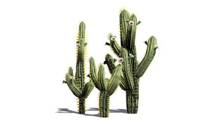 saguaro: Saguaro cactus isolated on white background