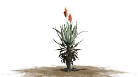 aloe vera plant: Aloe Vera plant isolated on white background