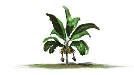 buzzer: Banana plant isolated on white background