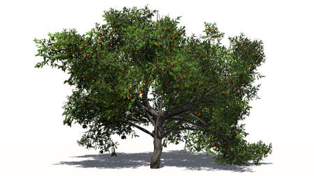 peach tree: peach tree isolated on white background