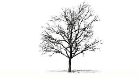 peach tree: peach tree winter isolated on white background