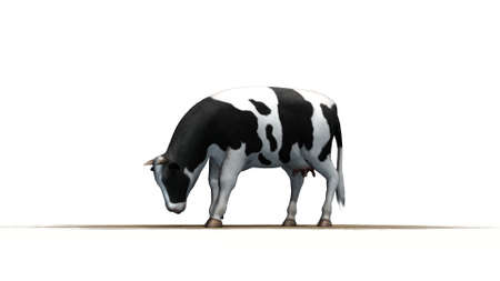 holstein: cow  separated on white background
