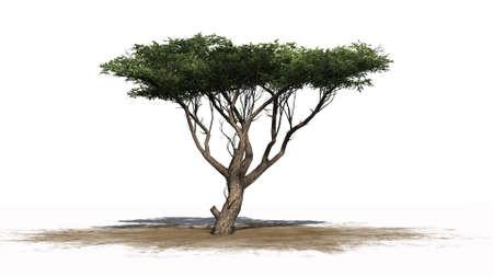 acacia tree: Acacia tree  isolated on white background