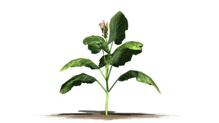 tobacco plant on white background Stock fotó