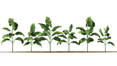 dry land: tobacco plants on white background