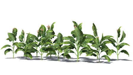 dry flower: tobacco plants on white background