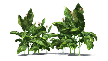 dry flowers: tobacco plants on white background