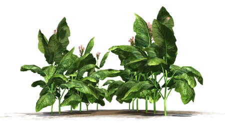 tabacco: tabacco plants on white background