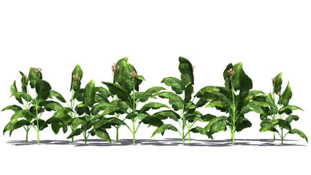 tobacco plants: tobacco plants on white background
