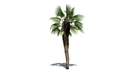 chinese fan: Chinese Fan Palm on white background Stock Photo