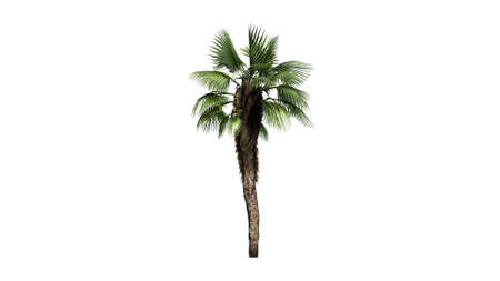 chinese fan: Chinese Fan Palm  separated on white background Stock Photo