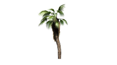 subtropics: Chinese Fan Palm on white background Stock Photo