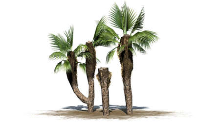 subtropics: Chinese Fan Palm cluster on white background Stock Photo
