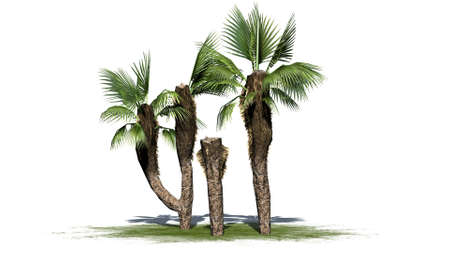 chinese fan: Chinese Fan Palm cluster on white background Stock Photo