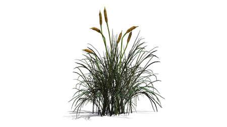 bulrush: cattail plants on white background