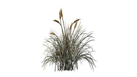 bulrush: cattail plants dark on white background