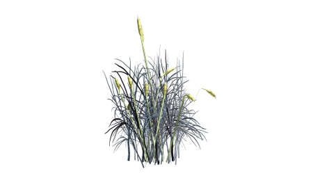 cattail: cattail plants in winter on white background