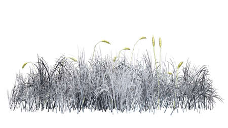 bulrush: cattail plants in winter on white background