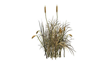 cattail: cattail plants fall separated on white background