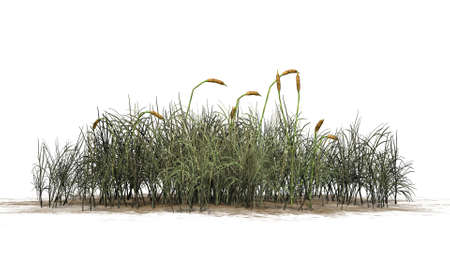 cattail: cattail plants separated on white background Stock Photo